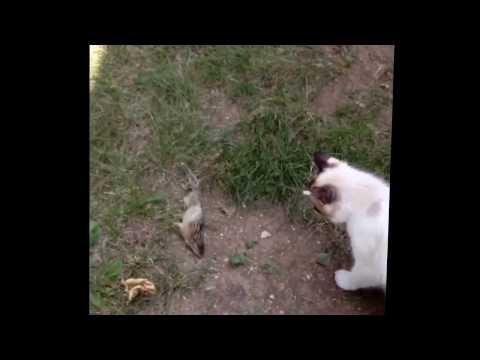 Poor ground squirrel... Cats love emm