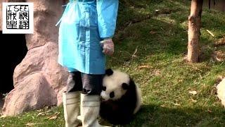 这个名叫奇一的熊猫宝宝喜欢抱腿粘人