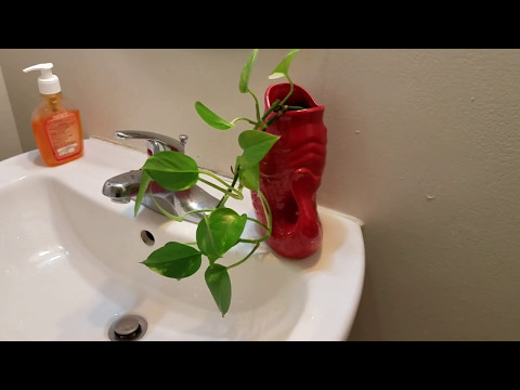 Growing pothos (money plant) without sunlight in restroom.
