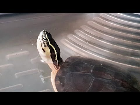 LIOW VIDEO: My Malayan box turtle, flowerhorn & Bonsai 箱龟, 罗汉鱼与盆栽