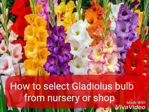 NO_131 How to select/buy healthy Gladiolus bulbs from nursery/shop to grow/winter bulbs(Hindi/Urdu)