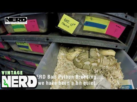 NERD Ball Python Breeding.... we have been a bit quiet..