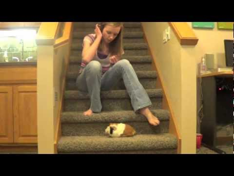 Guinea Pig Exercise
