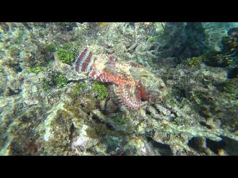 4K Where's the Spotted Scorpionfish? - Roatan