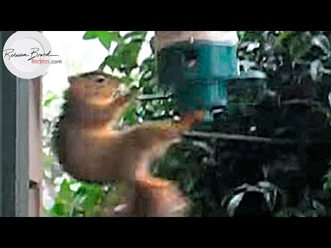 Crazy Squirrels Attack Bird Feeders, Gotta Keep them Away!