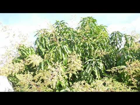 Nam Doc Mai Mango Tree - Part 8
