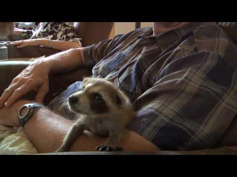 Kukla the Baby Raccoon