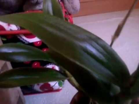 diy orchid leaf shiner