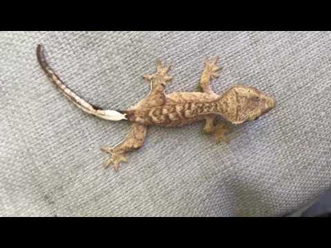 HANDLING YOUR BABY CRESTED GECKO