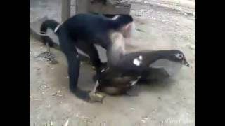Monkey fuck duck sex viral Indian desi