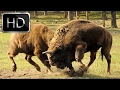 Download Video Download National Geographic Documentary -  Wolves vs Bison - Full Documentary 2016 3GP MP4 FLV