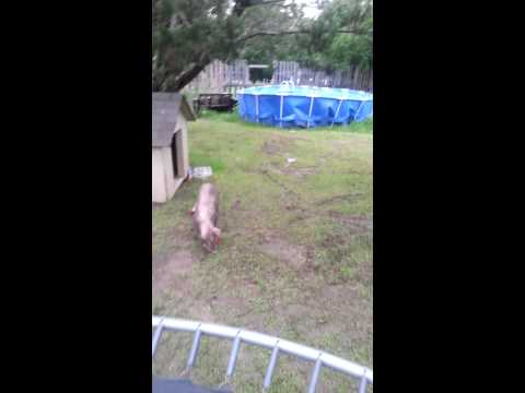 Never let a pig in your yard