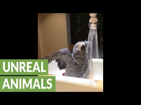 African Grey Parrot casually enjoys a shower