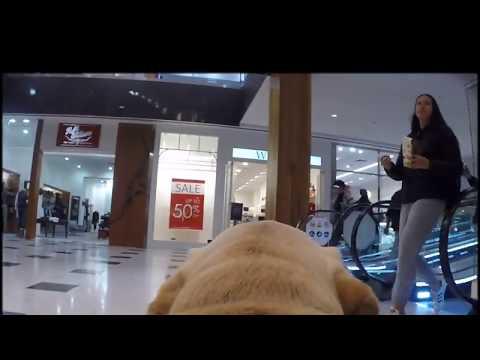 Guide Dog Arial's doggie dashcam