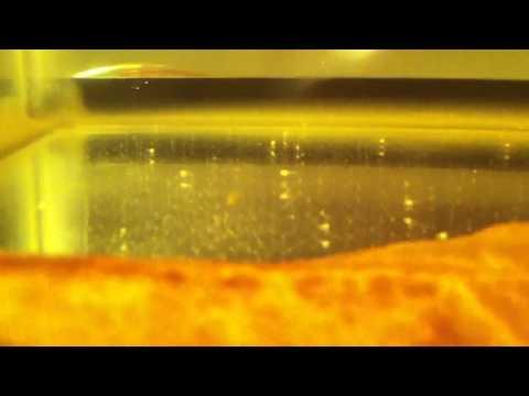 1 week old betta fry feeding on baby brine shrimp [HD]
