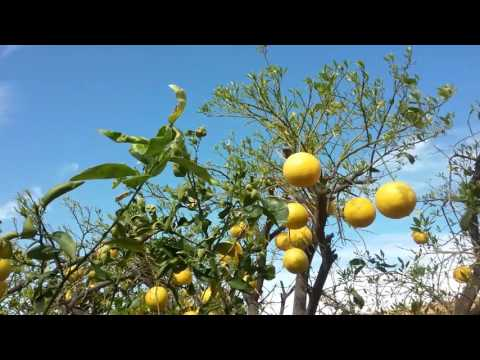 Grapefruit Tree Leaves Falling Off Mesa AZ 480 969 8808 Warner's Tree Surgery