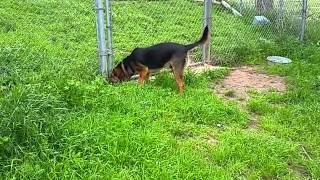 Adopt this Hound Dog from the Animal Shelter