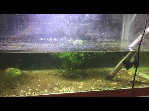 Baby elassoma gilberti fry tank setup