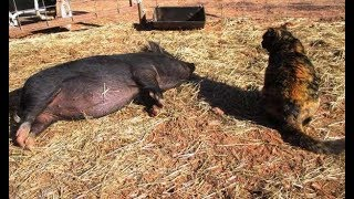 Feral Cat Decides To Be Guardian To Homeless Pigs!