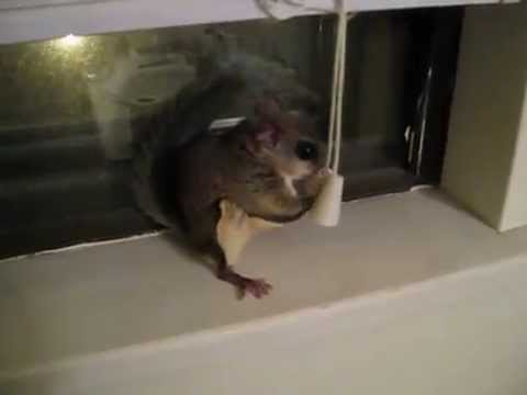 My pet flying squirrel, Deeb, jumping around & playing