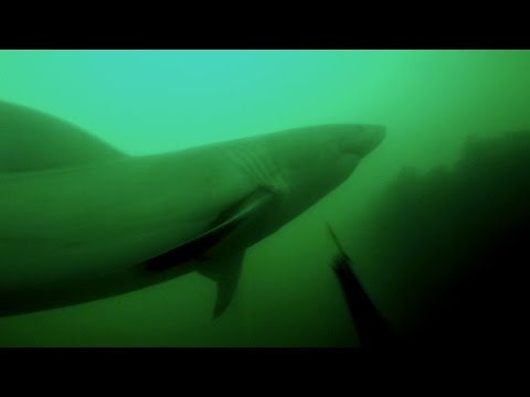 GREAT WHITE ATTACKS SPEARO