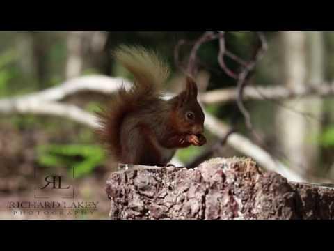 Red squirrel on Brownsea island, Dorset, England