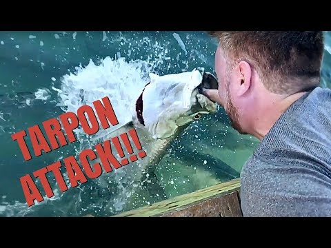 AMAZING SLOW MOTION TARPON HAND-FEEDING!!!