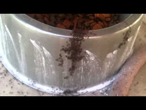 Ants attacking the dry dog food