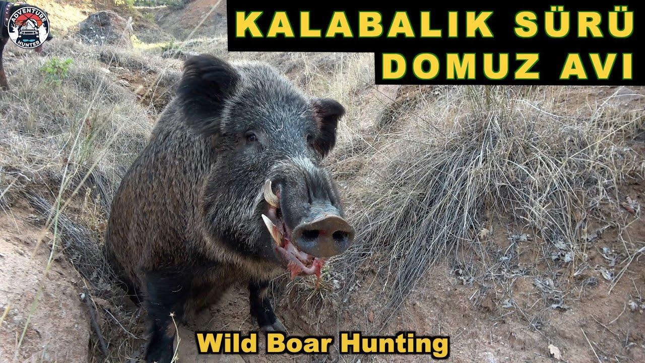 Crowd Herd Of Wild Boar Hunting | Kalabalık Sürü Yaban Domuz Avı Belgeseli Vlog#7