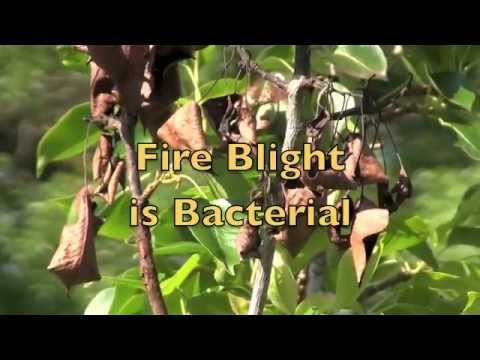 Fire Blight in Pear Trees Treatment