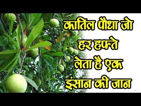 कातिल पौधा जो हर हफ्ते लेता है एक इंसान की जान -katil paudha jo har hafte leta hai ek insan ki jaan