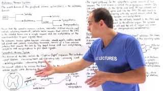 Autonomic Nervous System (Sympathetic and Parasympathetic)