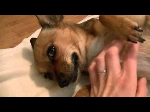 Chihuahua 6 weeks Pregnant