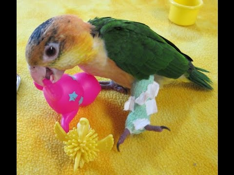 Parrot Quick Link Causes Broken Leg for Baby White Bellied Caique Muffin