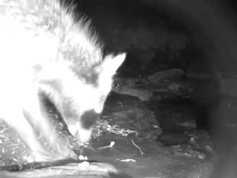 Raccoon feeding while standing in fish pond