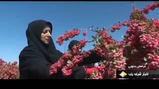 Iran Barberry harvest, Nehbandan county برداشت زرشك شهرستان نهبندان ايران