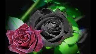 شاهد إبداع الخالق | الوردة السوداء النادرة في منطقة حالافاتي التركية