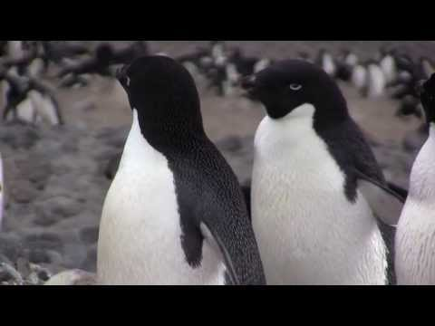 Ghost Rookeries: Climate Change and the Adelie Penguin