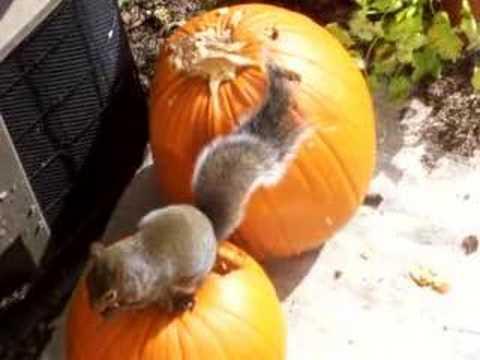Squirrels Eating Pumpkin
