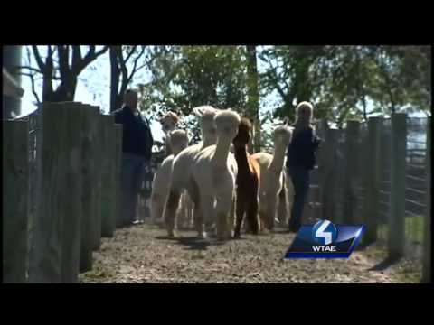 Alpaca farms becoming big business in state