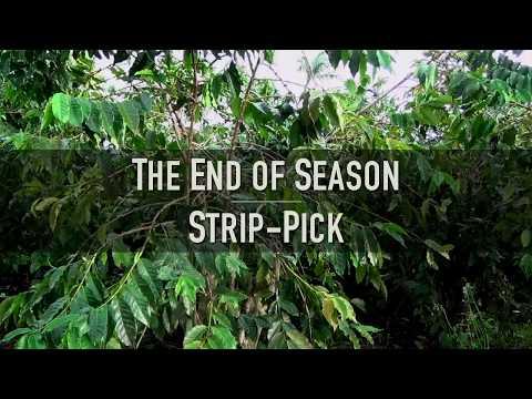 Coffee Berry Borer IPM - End of Season Strip-Pick