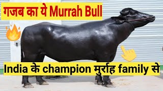 murrah bull semen Videos - 9tube tv