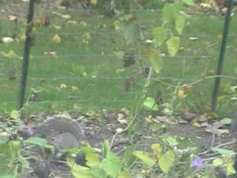 Squirrel biting a sunflower