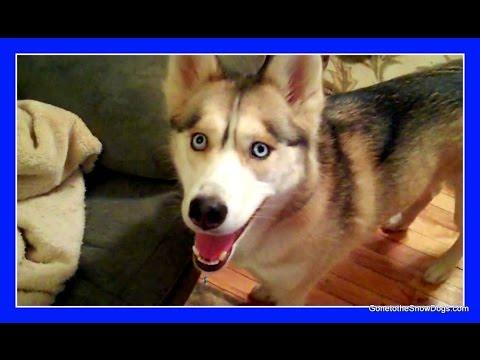 HUSKY BURY BONE | Confused Dog | BURY WITH NO DIRT