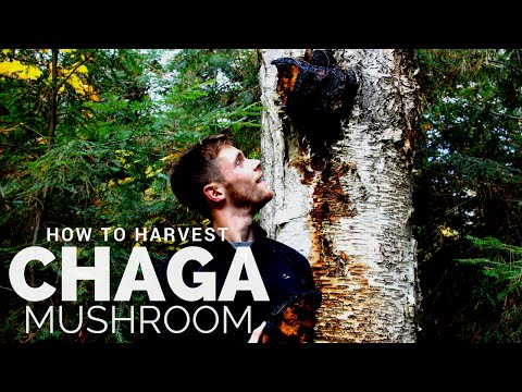 How to Harvest Chaga Mushroom: Hunting for Nature's Most Immune Boosting Superfood
