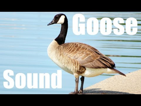 Goose Sound Effect (Best audio quality)