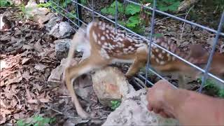 BABY FAWN RESCUE