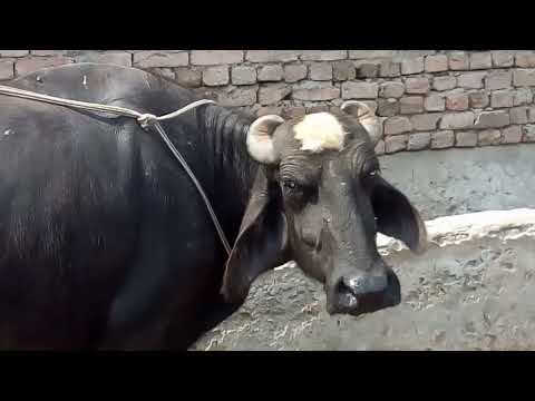 Vaginal prolapse In Cattle treatment in Urdu / Hindi / bhains main avans aor uska elaaj / pecha