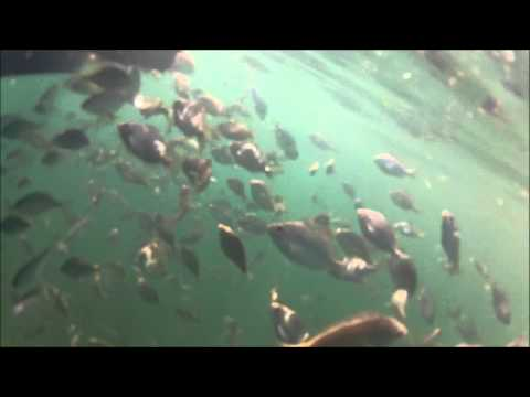 Pinfish feeding at our Chum Bag. Underwater footage