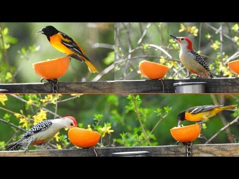 Baltimore Orioles have Migrated back to Massachusetts ~ Red Bellied Woodpeckers shares an Orange